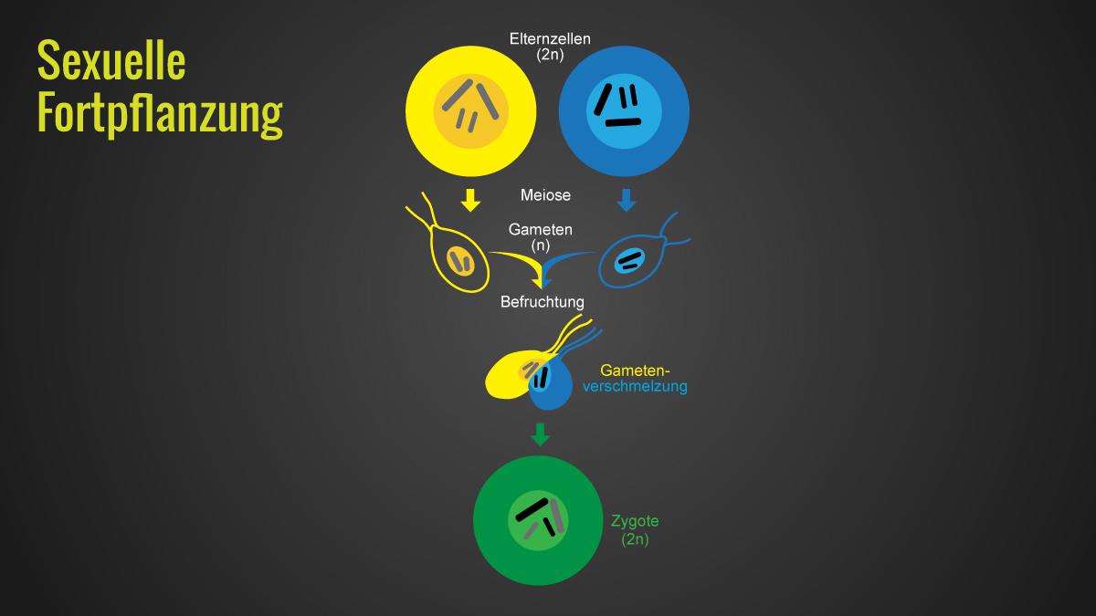 Infografik Ablauf der sexuelle Fortpflanzung